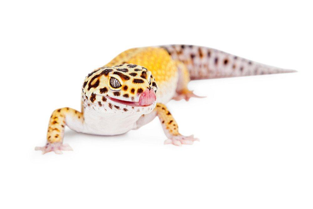 Halloween Mask Leopard Gecko.Leopard Gecko 6 Physical Features 4 Leopard Gecko Types Pest Wiki