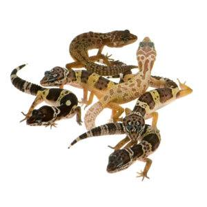 Different types of leopard geckos on the white.
