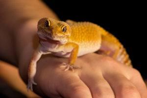 Cute leopard geckos on human's hand.