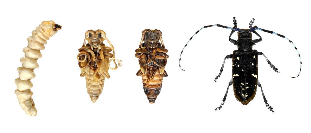 Stages development of Asian long-horned beetle isolated on a white background.