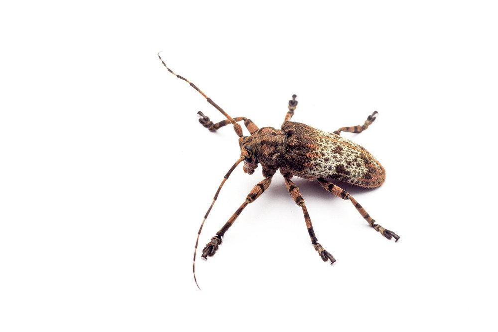 Longhorn beetle isolated on the white.