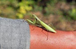 A big praying mantis on human hand closeup outdoor.