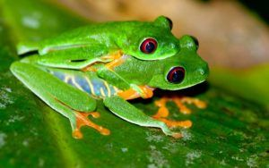 Two mating tree frogs on the green leaf.