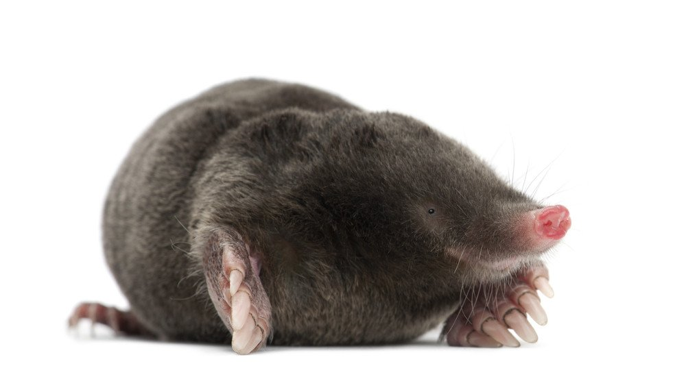 How To Get Rid Of Moles Using 5 Proven Strategies Pest Wiki