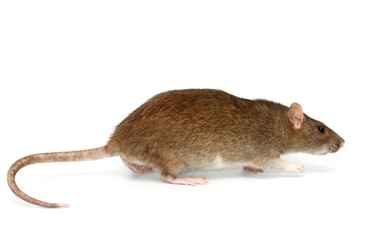 Norway rat with pink paws and ears on white background