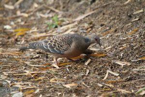 Turtle dove seeking for food