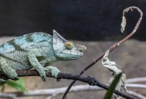 Male Parson's Chameleon with characteristic bulbous nose