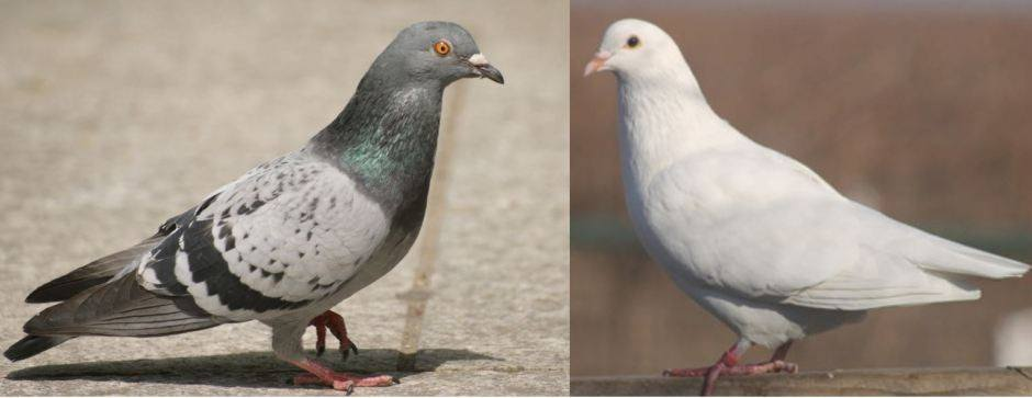 Dove Vs Pigeon 4 Key Difference And Different Types Pestwiki