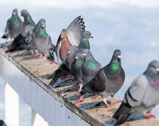 Group of pigeons on roof