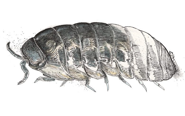 Drawing picture of pill bug
