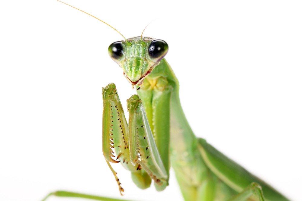 Praying Mantis Bite: Bites on Humans & Dogs & the Male Praying ...
