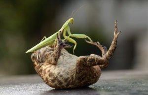 Praying mantis attacking a frog