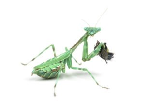 Praying mantis is eating a fly.