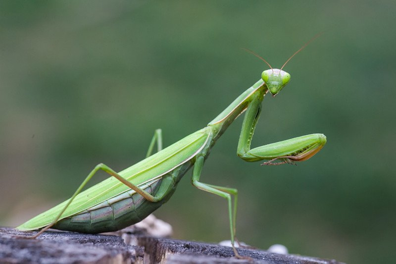 Praying Mantis Seven Strange Facts And How To Get Rid Of Them In