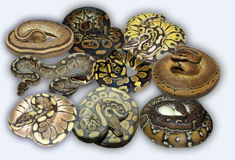 Different types of Python snakes