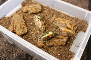 Rainbow stag beetle in box