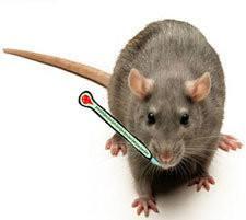 Closeup of rat