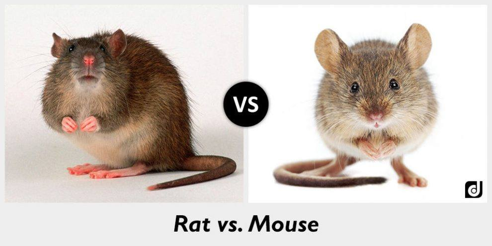 Rat and mouse on white background