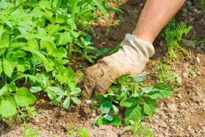 Removing the plants from earth in garden