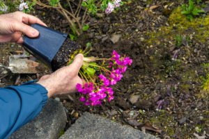 Man taking a flowering Lewisia out of a plastic pot