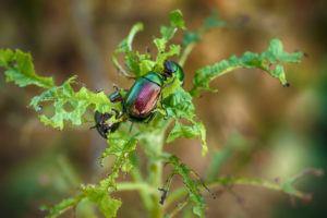 Scarab Beetle resting on leaf