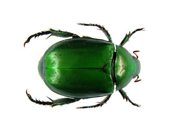Scarab Beetles Basic Information And Removal Pestwiki