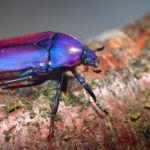 Scarab beetlein terrarium.