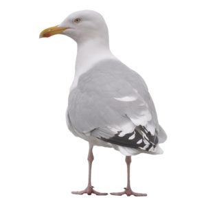 A seagull on white background