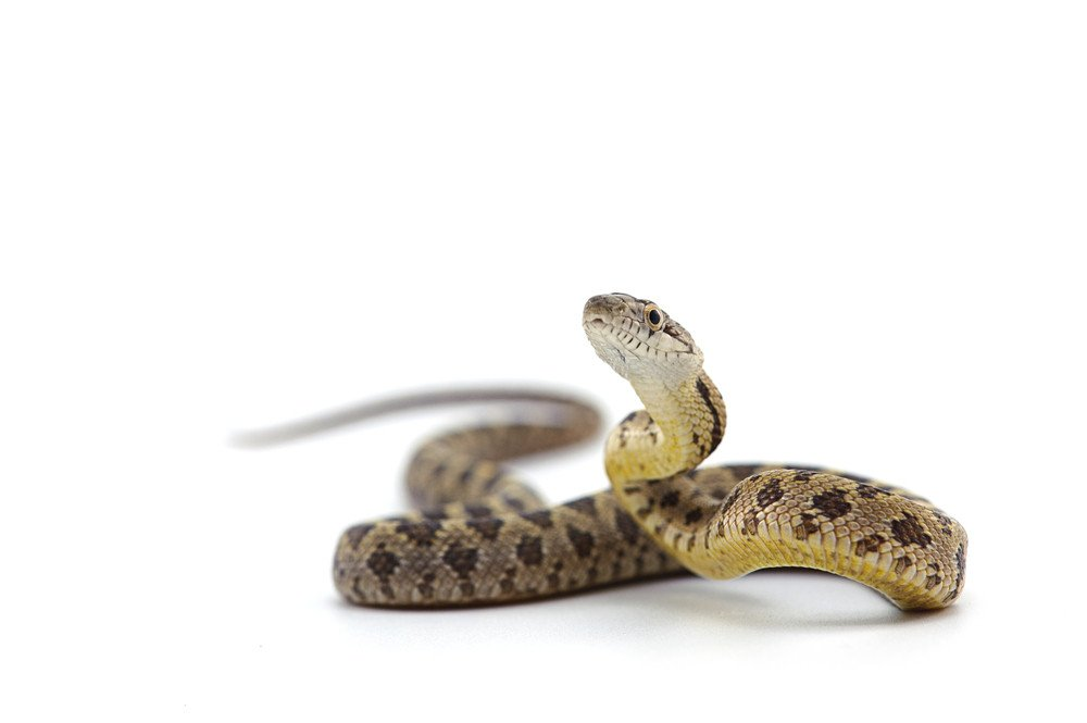 Snake isolated on the white.
