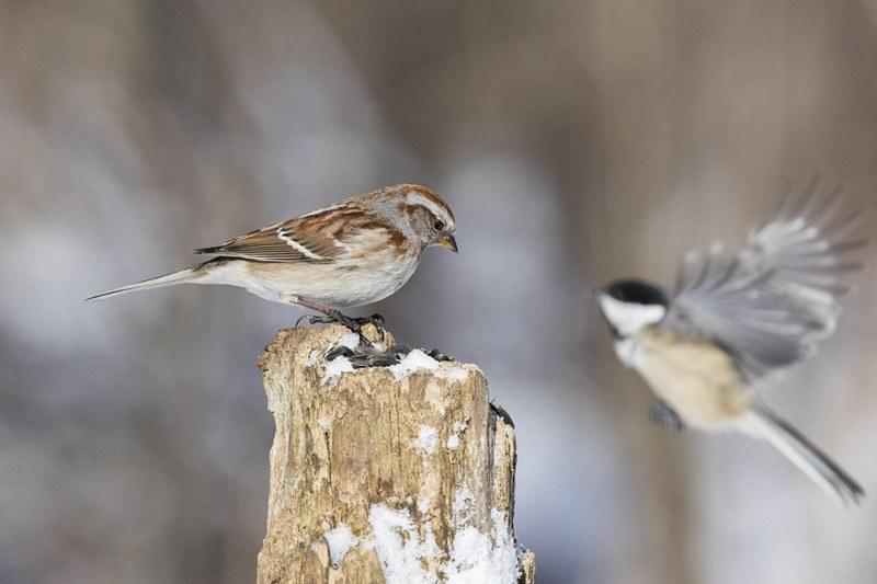 Song sparrows in winter