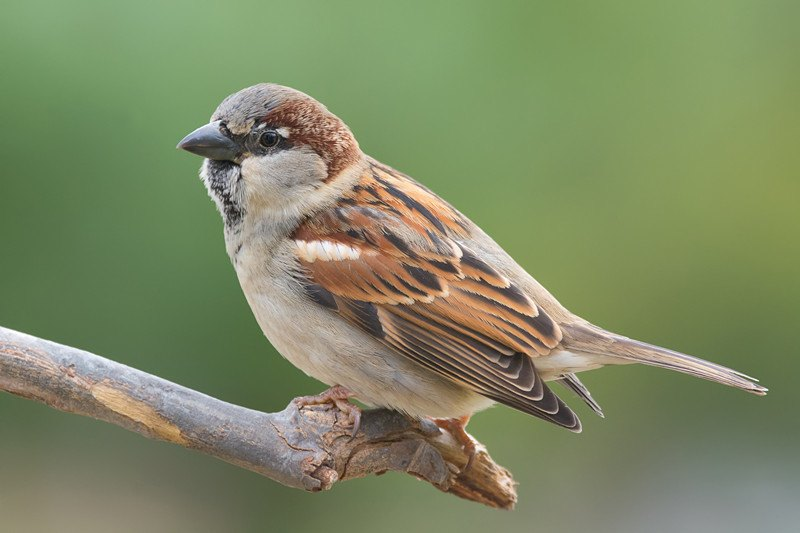 House sparrow perched on a tree branch