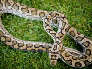 Close up of spotted Python snake