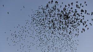 Flock of European Starlings in the Sky