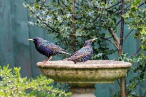 Two Starlings perched on a ornamental birdbath
