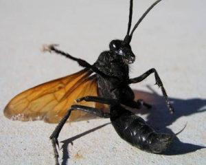 Tarantula hawk wasp on ground