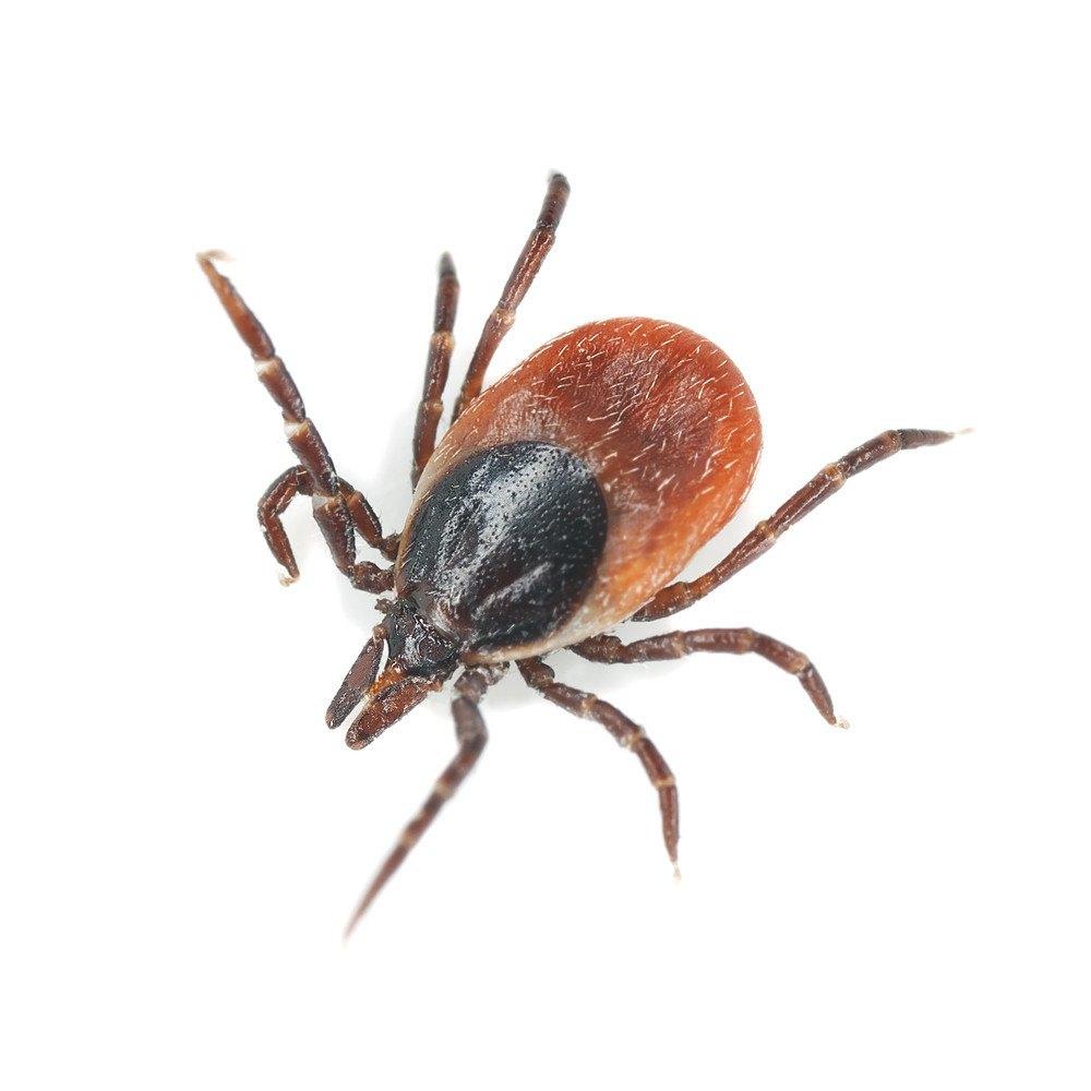 Tick isolated on white background, extreme close-up.