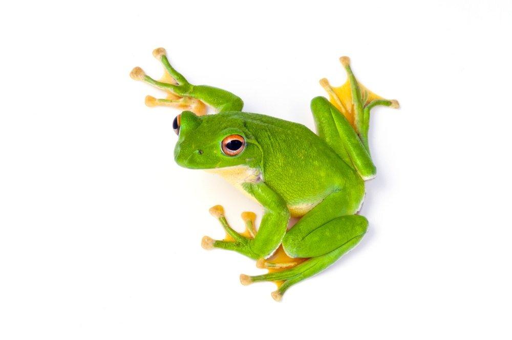 Tree frog on white background.