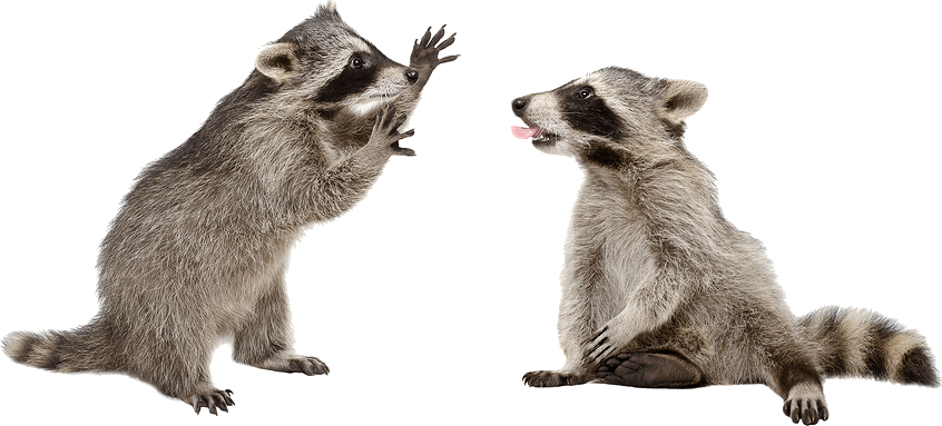 Two raccoons are playing on white background.