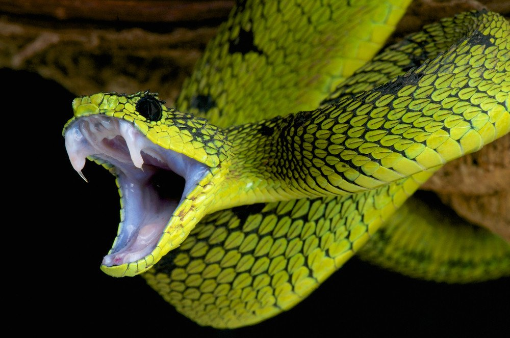 ular pucuk