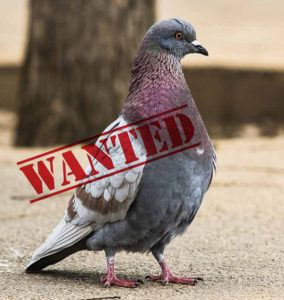 Pigeon wanted
