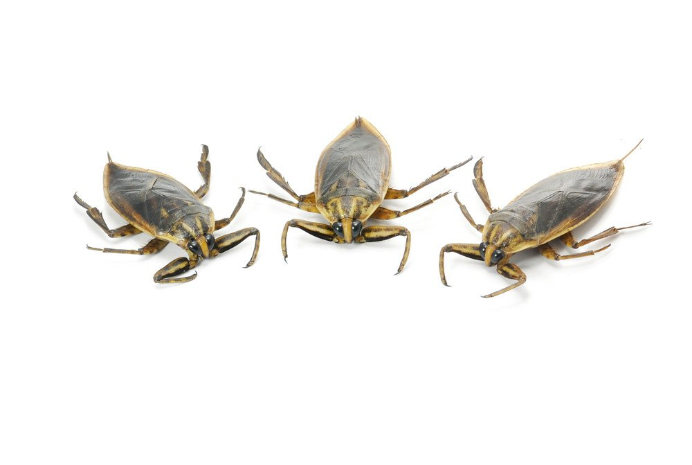 Three water bugs on white background.