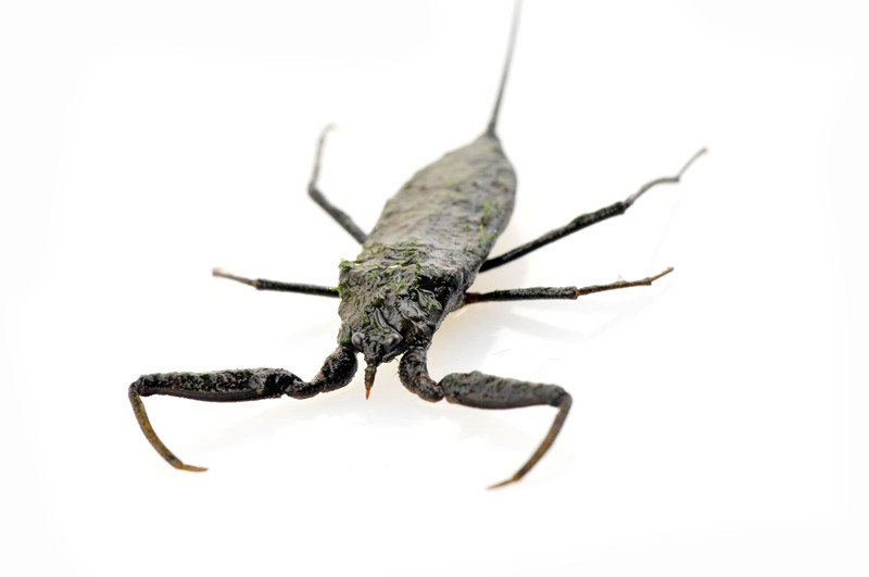 Water scorpions on white background