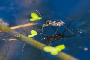 Close up of Water strider