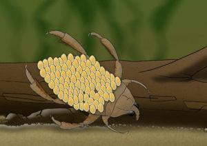 Water Bug Male Illustration