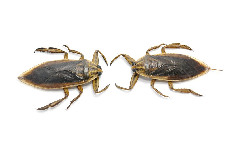 Two Waterbugs on white background