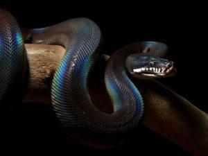 White-Lipped Python snake on black background
