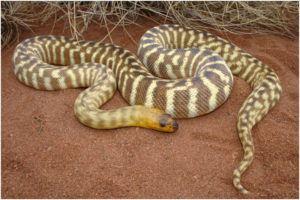 Woma python snake in desert