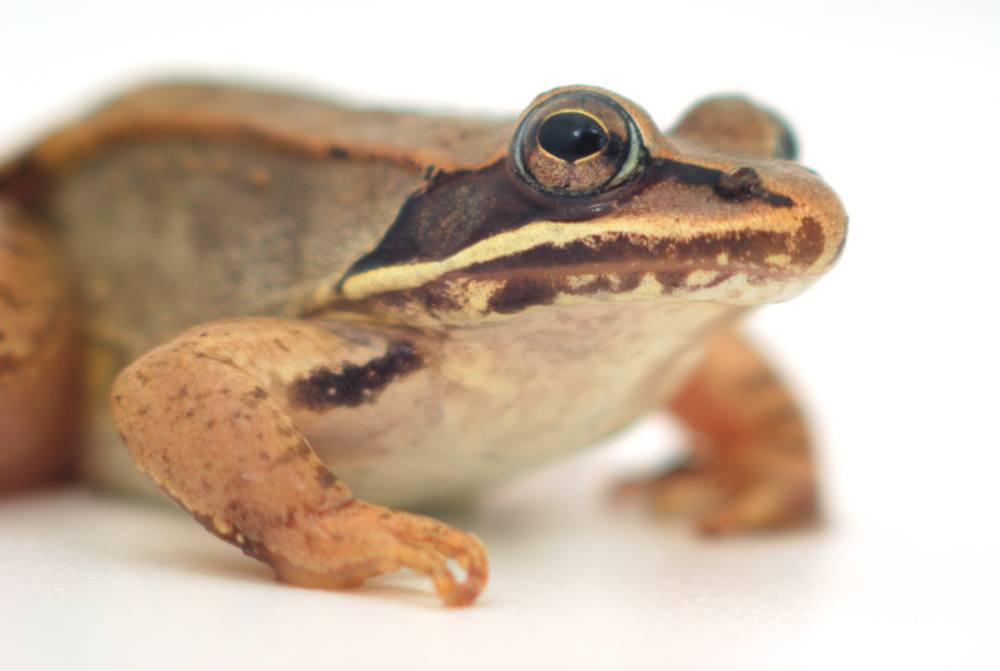 Close up of a wood frog on the white.