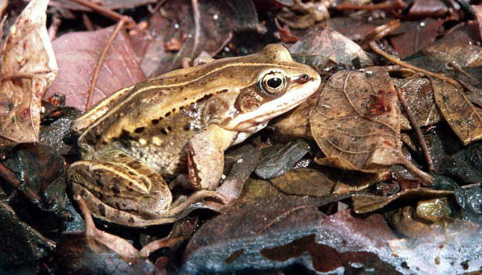 A wood frog is eating something in leaves.