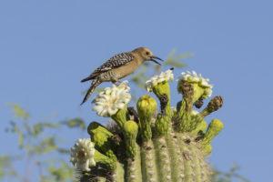 Gila Woodpecker and bees on Saguaro Cactus Flowers